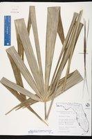 Rhapidophyllum hystrix image