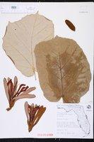 Pterospermum acerifolium image