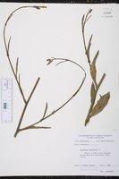 Nicotiana longiflora image