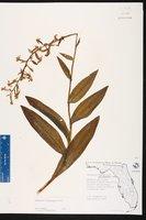 Habenaria floribunda image