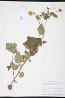Image of Hochreutinera amplexifolia