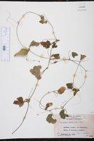 Schizocarpum palmeri image