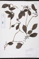 Image of Neea choriophylla