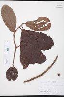 Image of Doliocarpus olivaceus