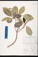 Ficus aurea image