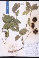 Citrus reticulata image
