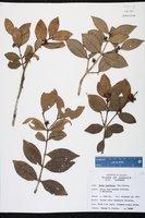 Image of Buxus laevigata