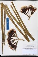 Image of Agave sobolifera