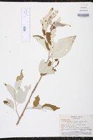 Image of Croton watsonii