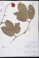 Cayaponia amazonica image