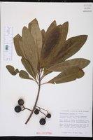 Elaeocarpus angustifolius image
