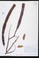 Cassia afrofistula image