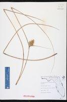 Acanthostachys strobilacea image