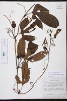 Cayaponia macrocalyx image