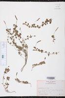 Acalypha monostachya image