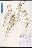Orbexilum lupinellus image