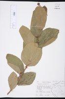 Image of Triumfetta polyandra