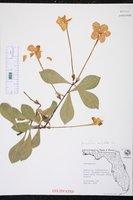 Brunfelsia undulata image