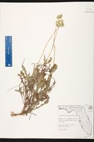 Berlandiera subacaulis image