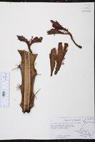 Acanthocereus horridus image