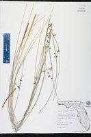 Juncus coriaceus image