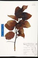 Dalbergia ecastaphyllum image