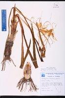 Hymenocallis tridentata image