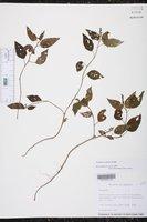 Image of Acalypha ocymoides