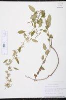 Euphorbia francoana image
