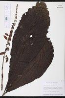 Warszewiczia coccinea image