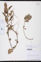 Image of Acalypha subviscida