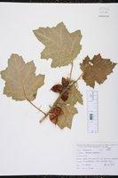 Image of Solanum mammosum