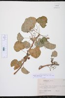 Jatropha canescens image