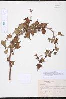 Jatropha purpurea image