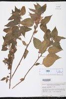 Image of Acalypha comonduana