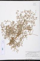 Euphorbia dentosa image