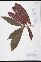 Image of Columnea cruenta