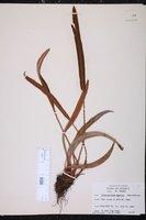 Image of Elaphoglossum eggersii