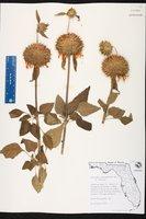Leonotis nepetifolia image
