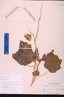 Solanum capsicoides image