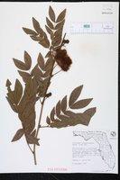 Calliandra haematocephala image