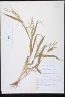Urochloa ramosa image