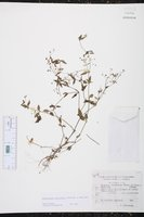 Image of Oldenlandia microtheca