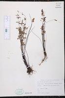 Pellaea ternifolia image