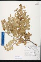 Sophora tomentosa image