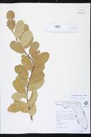 Cynophalla flexuosa image