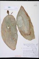 Opuntia cochenillifera image