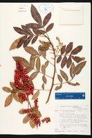 Schinus terebinthifolia image