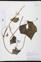 Luffa operculata image