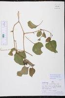 Cayaponia cruegeri image